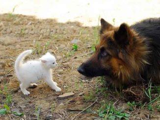 Котенок - укротитесь собак. Встреча белого котенка и овчарки