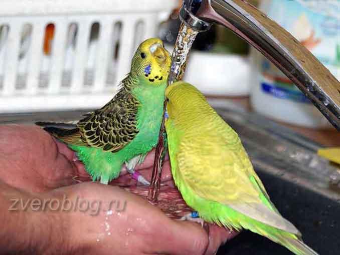 Как научить попугайчика купаться под краном
