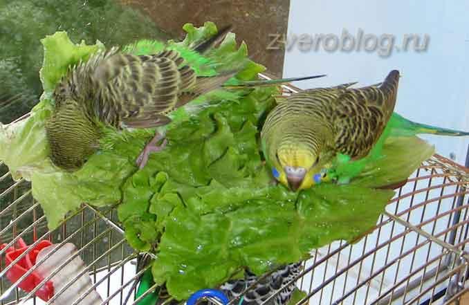 Как приучить попугая купаться: купаем в листьях салата