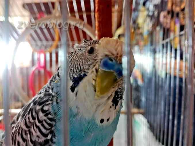Мокрая клетка, чтобы приучить попугая к воде