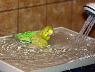 Как приучить попугая купаться: птичка купается в тазике с водой