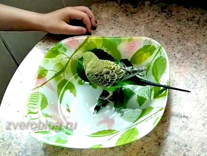 Как приучить попугая купаться: птичка в тарелке