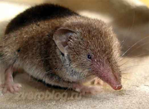 Бурозубка - мышь с хоботком