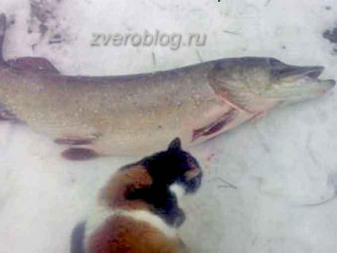 Трехцветная кошка и большая щука на рыбылке