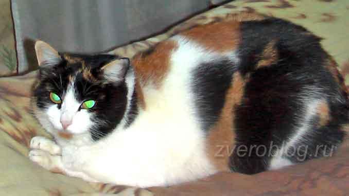 Стасение и история трехцветной кошечки