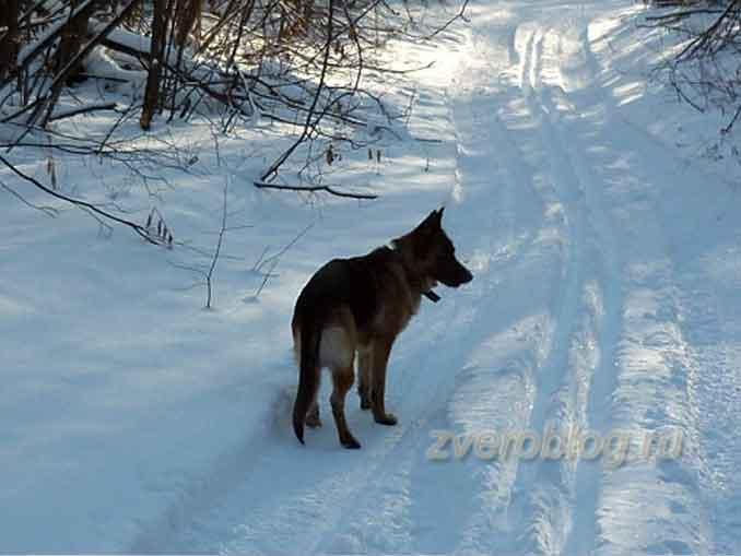 Овчарка гуляет по зимнему лесу