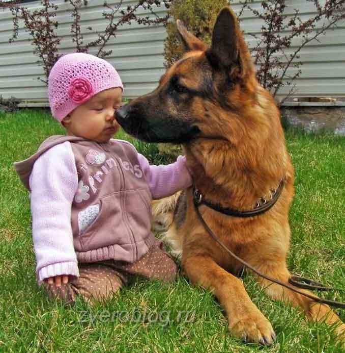 Овчарка и маленькая девочка