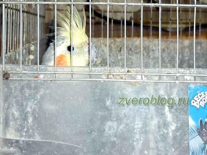 Попугай корелла, который любит следить за всеми в комнате