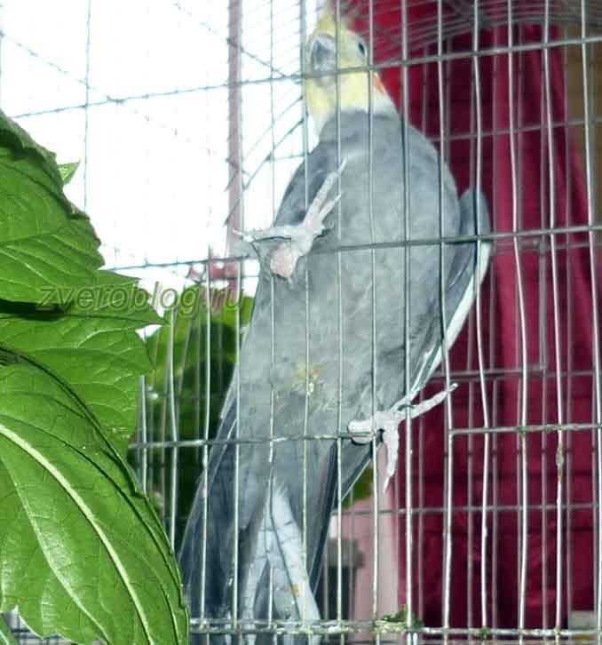 Красивый попугай корелла в клетке