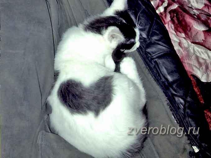 Котик с пятнышкой в виде сердечка на боку