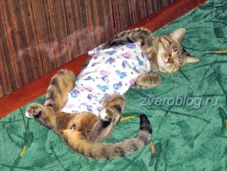 Стерилизация кошек: как ухаживать за питомцем после операции