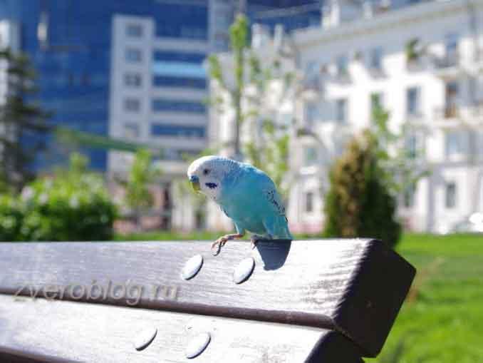 Как поймать попугая вылетевшего на улицу?