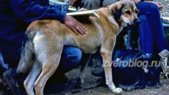 Узана - собака, помогающая геологам