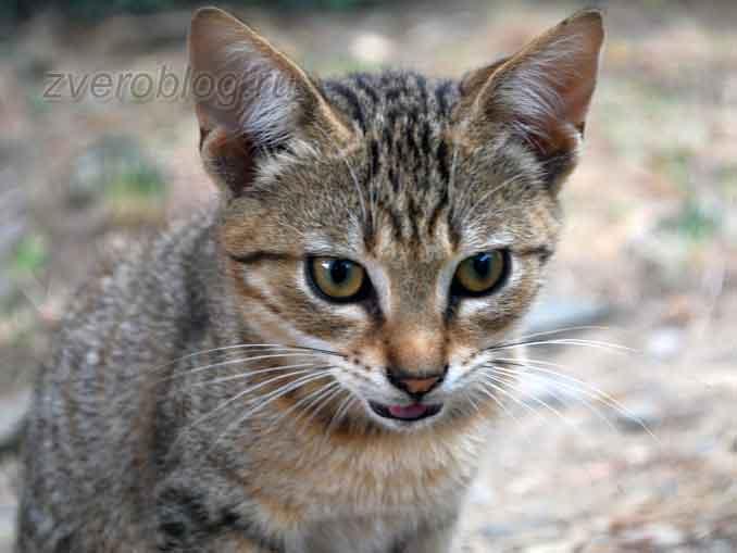 Молодая серая кошка