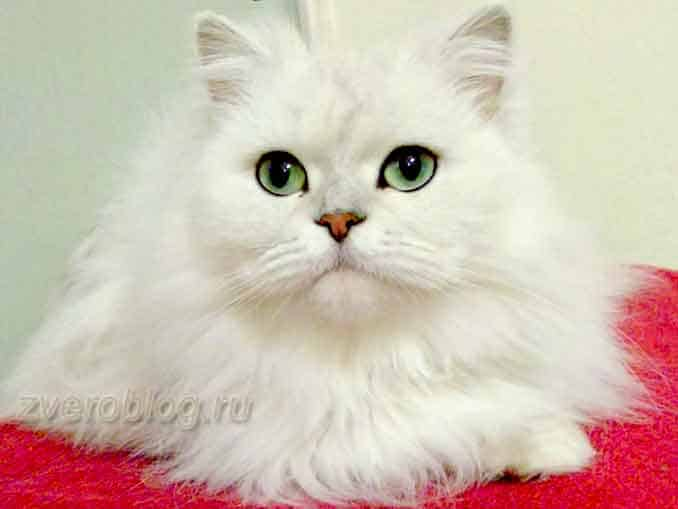 белая персидская кошка