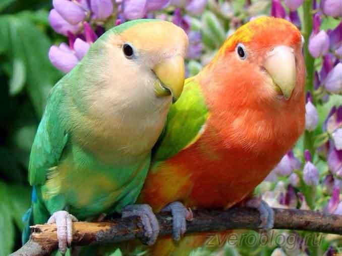 Попугаи-неразлучники: история моего знакомства