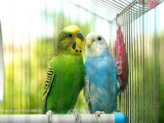 Волнистые попугаи в клетке