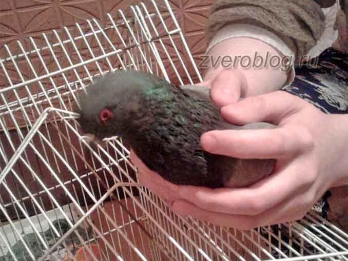 Как вылечить раненного голубя в домашних условиях