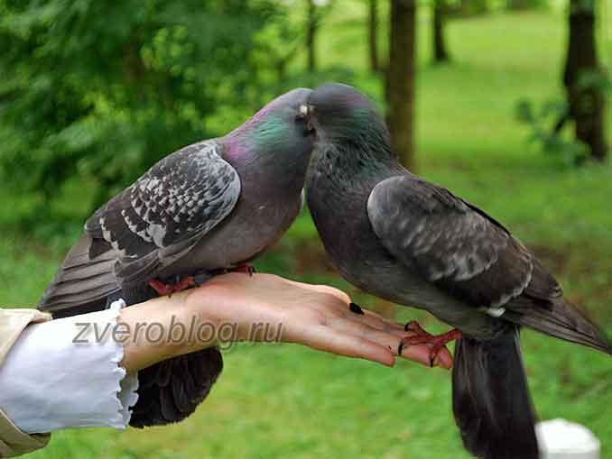 Пара городских сизых голубей на руке человека