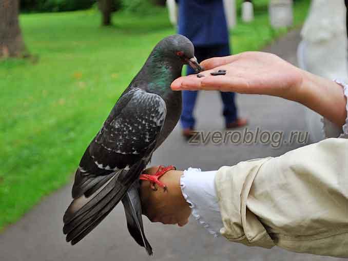 Сизый или серый голубь кушает семечи с руки