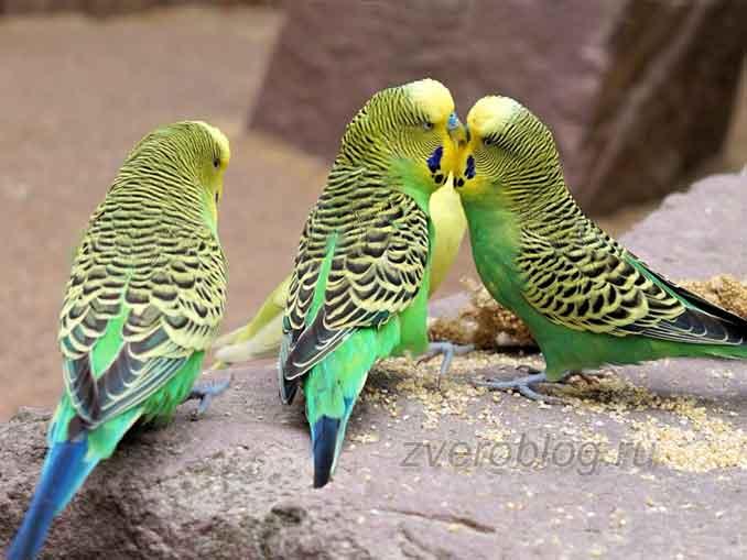 Волнистый попугайчик в вашем доме: сожержание и уход