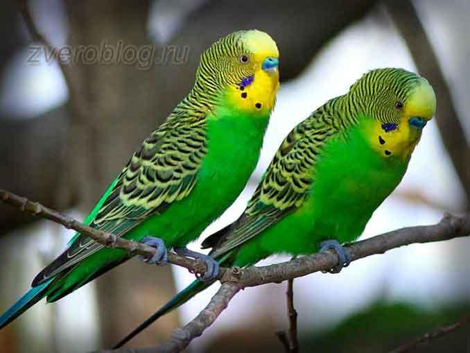 Два волнистых попугайчика зеленого окраса