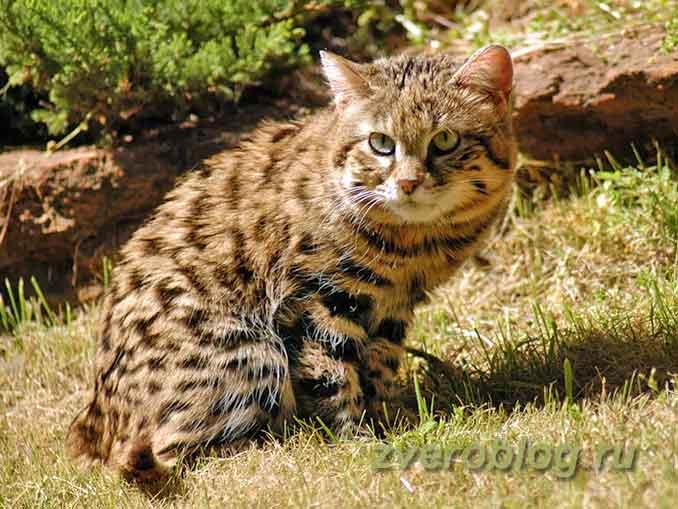 Дикая африканская кошка