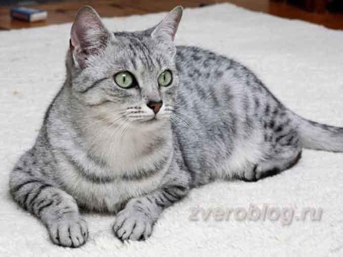 Египетская кошка мао