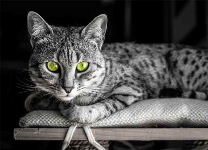 Египетские кошки - посланницы богини Луны
