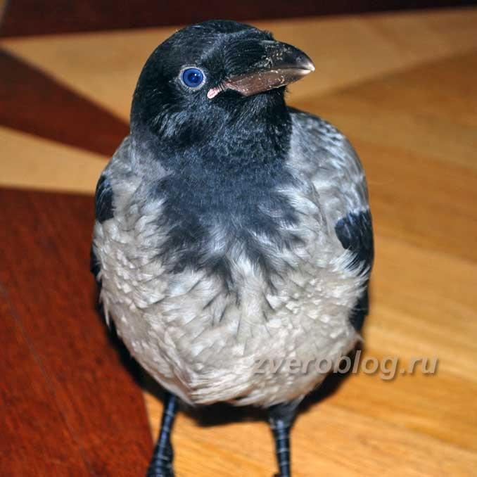 Ворона в домашних условиях