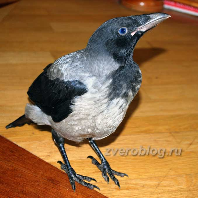 Ворона в домашних условиях - птенец